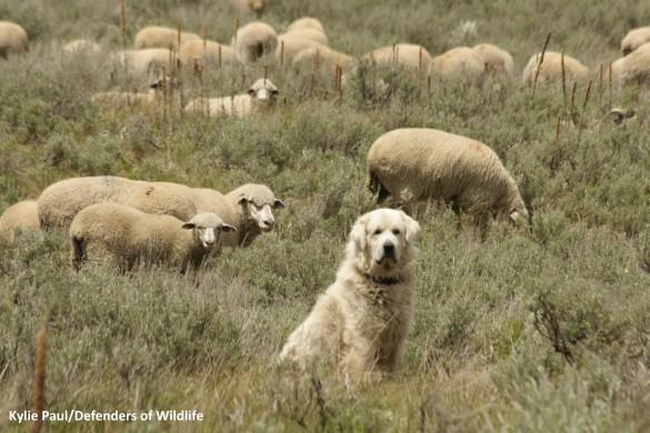 sheep-and-guard-dog-KPwm-e1340391078256